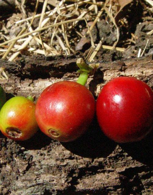 cherries-500x638